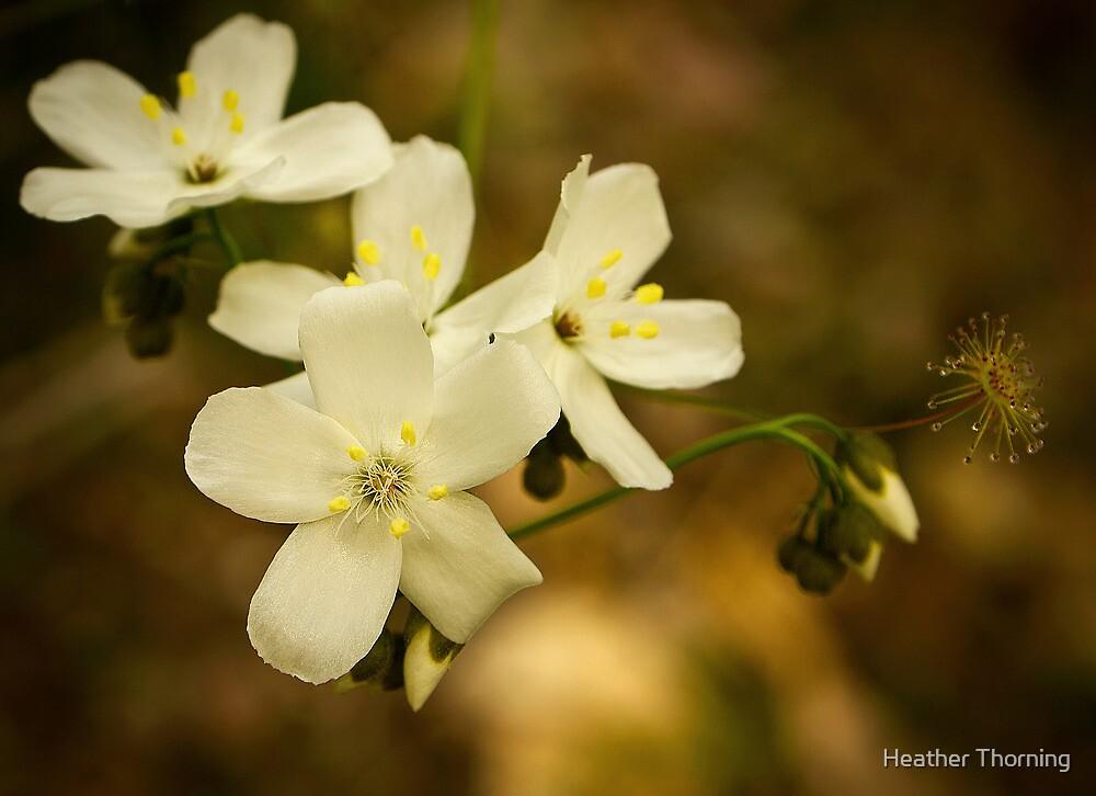 """Leafy Sundew"" by Heather Thorning"