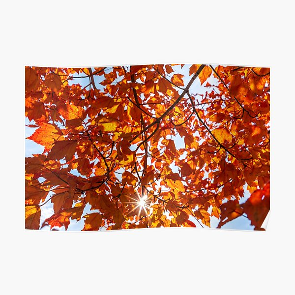 Fall Maple Poster