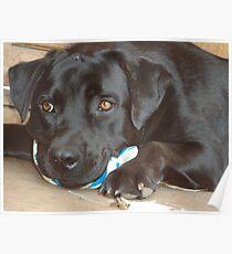 Labradors beauty Poster