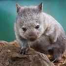Baby wombat, Tasmania by Paul Fleming