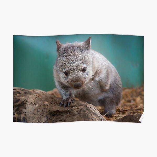 Baby wombat, Tasmania Poster