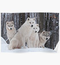 Arctic Wolf Pack Poster