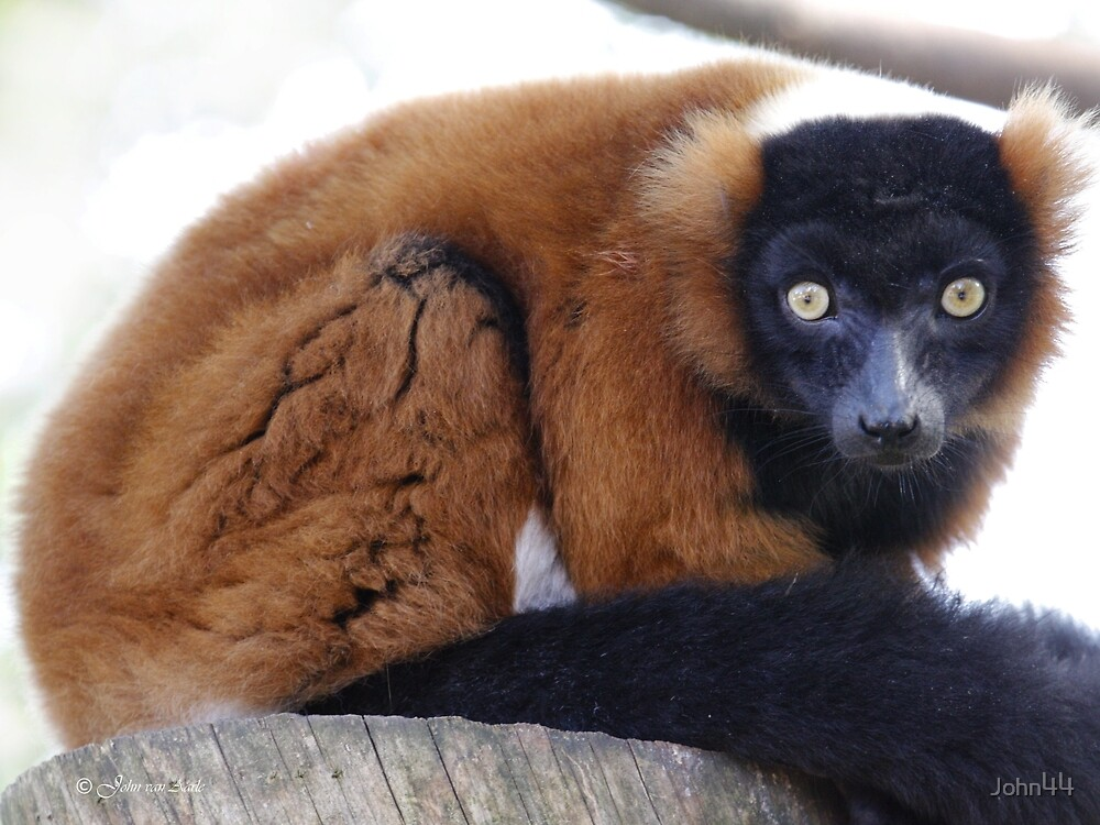 ... a hard to catch Guy ..The red ruffed lemur by John44