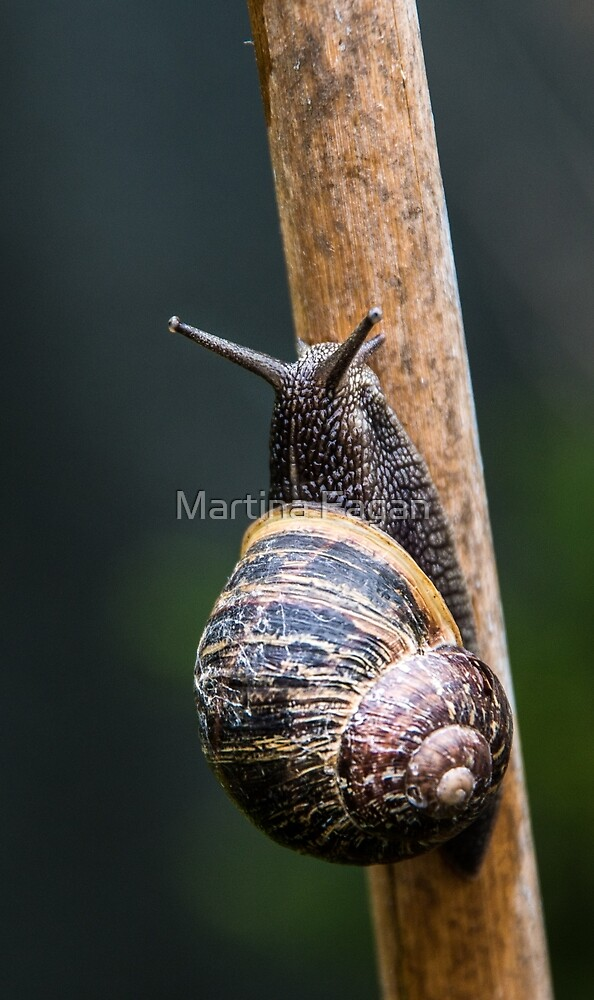 Snail by Martina Fagan