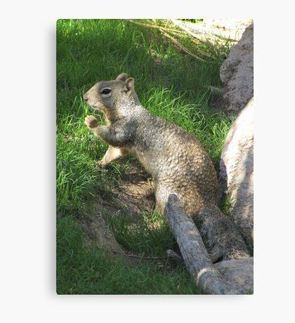 Rock Squirrel ~ Darn! Where's my nuts? Canvas Print