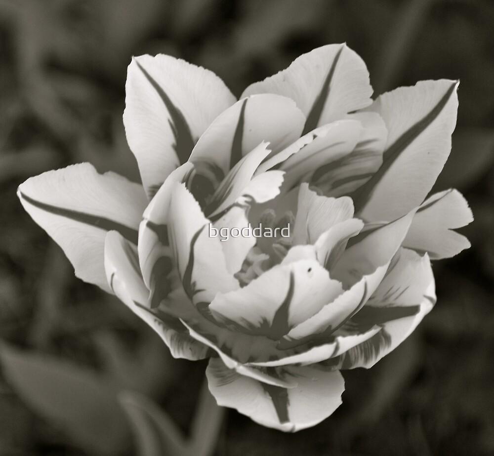 Tulip in Black & White by bgoddard