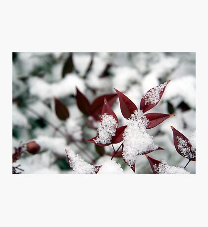Snowkiss'd Nandina Photographic Print