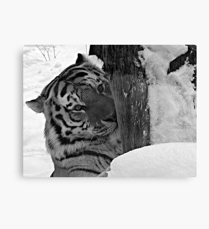 Dangerous, me?  Nah!  Come Closer (Amur Tiger) Canvas Print