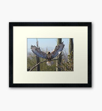Ferruginous Hawk ~ It's Good!!!! Framed Print