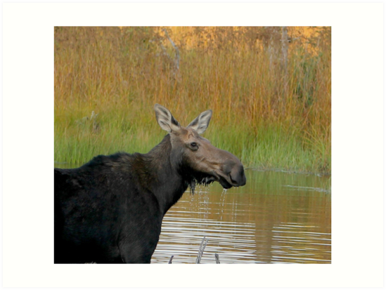 Maine Moose at dusk by Enola Wagner