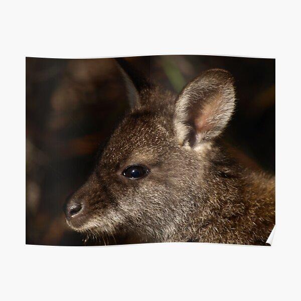 Bennett's Wallaby, Coles Bay Tasmania Poster