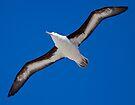 Soar (Black-Browed Albatross, Falklands) by Krys Bailey