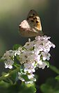Butterfly on Flowers by yolanda