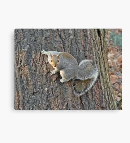Gray Squirrel (Sciurus carolinensis) Canvas Print