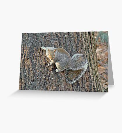 Gray Squirrel (Sciurus carolinensis) Greeting Card
