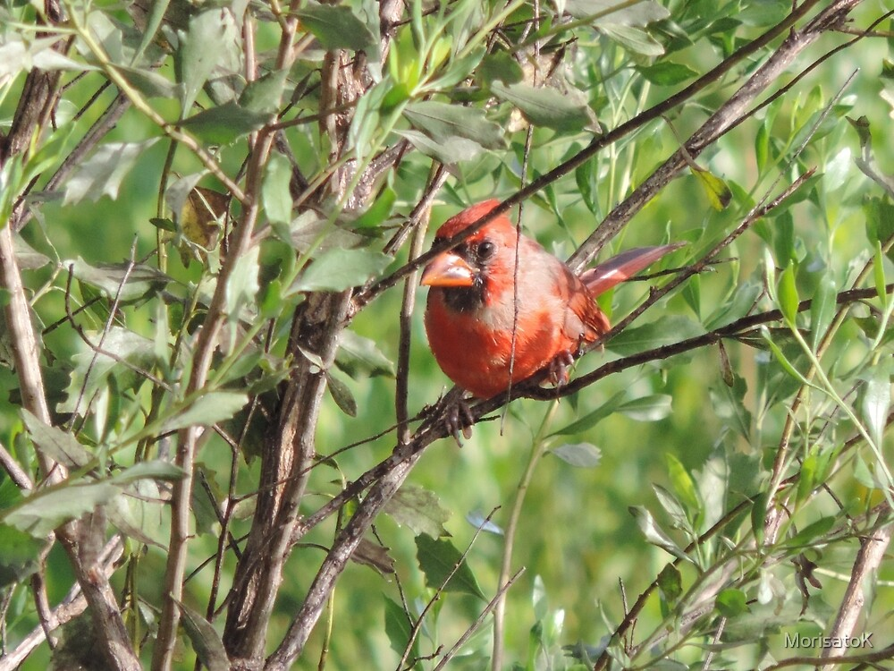 Cardinal watching me by MorisatoK