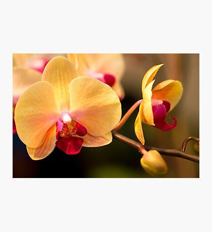 Phalaenopsis #3 Photographic Print