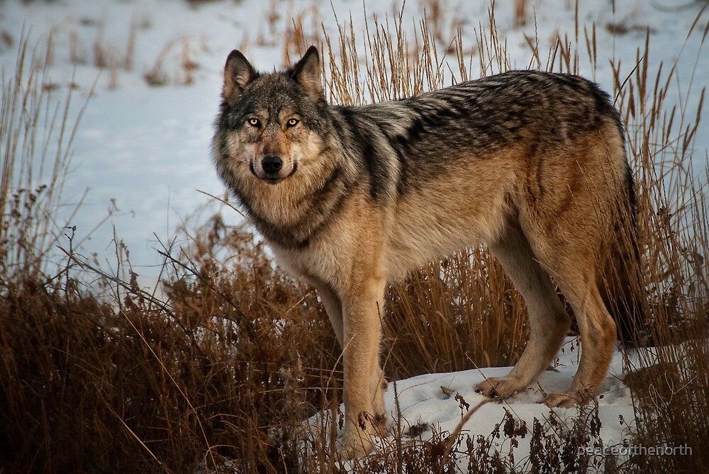 My First Wolf Photograph by peaceofthenorth