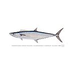 Narrow-barred Spanish Mackerel (Scomberomorus commerson) by StickFigureFish