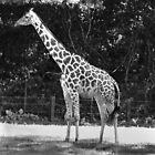 Giraffe by Rachel Williams