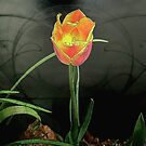 Lone Tulip © by Dawn Becker
