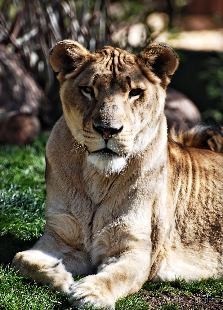 Lioness by Saija  Lehtonen