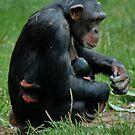 Chimpanzee Cuddling the Little one by AnnDixon
