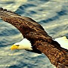 Fly By ~ Bald Eagle by lanebrain photography
