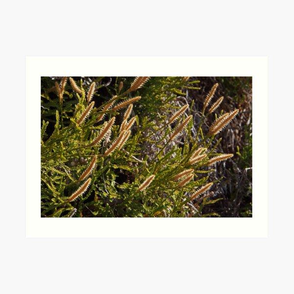 Lycopodium fastigiatum Art Print