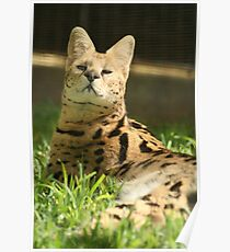 Honolulu Zoo: The Serval Poster