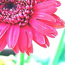 Gerber Flower by kdg2day