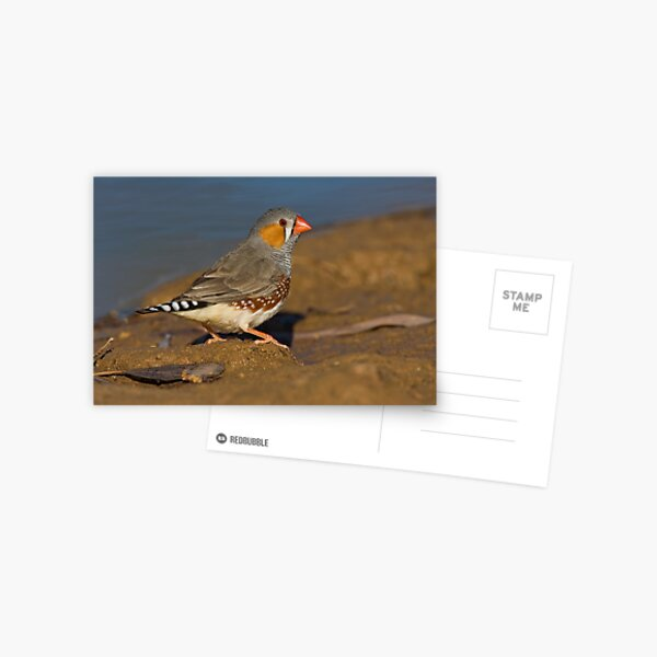 Zebra Finch Postcard