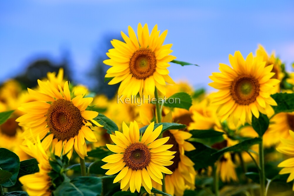 Sunflowers and Blue Sky by KellyHeaton