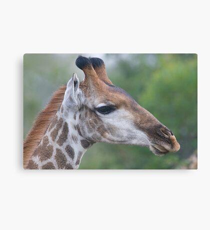 Young Male Giraffe Canvas Print