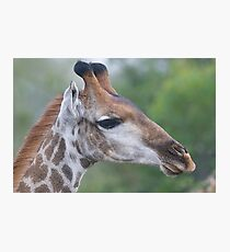 Young Male Giraffe Photographic Print