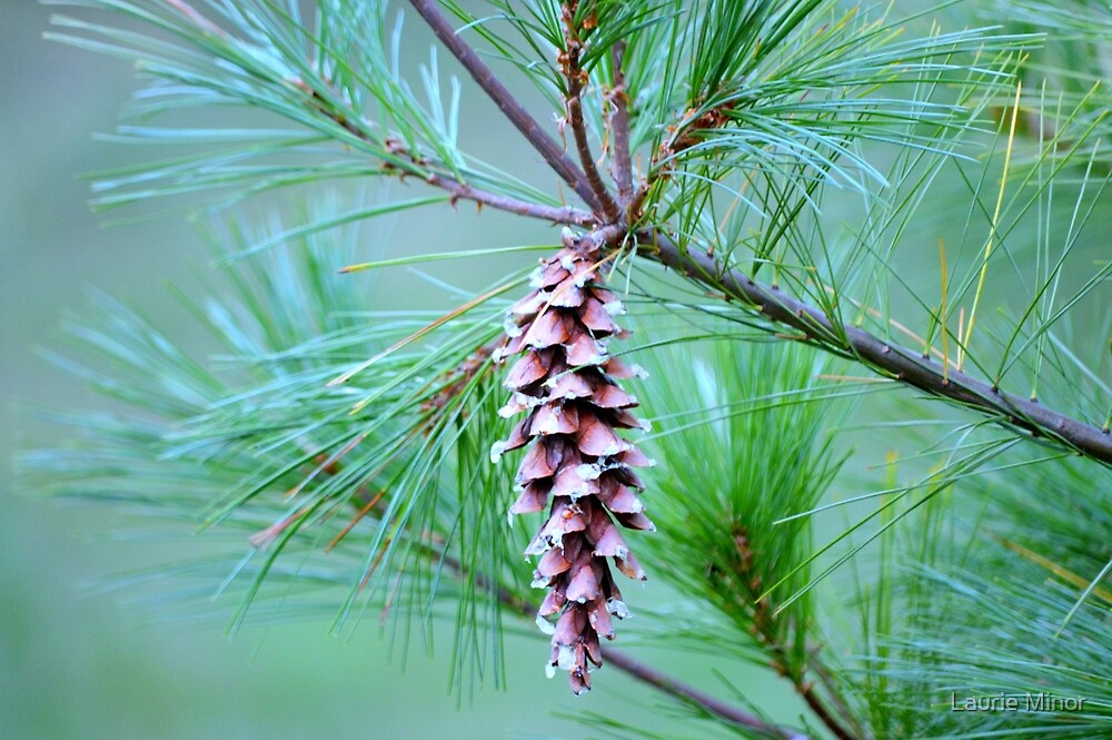 Pine Cone by Laurie Minor