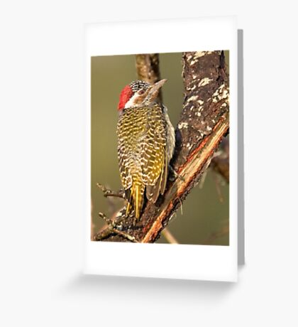 Bearded Woodpecker Greeting Card