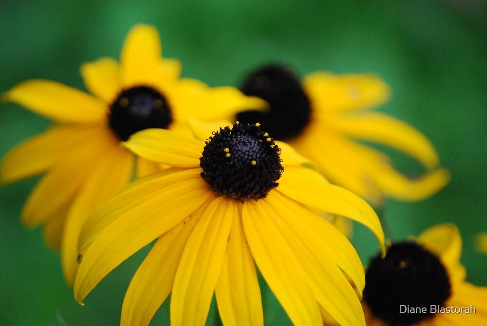 Black Eyed Susan's by Diane Blastorah