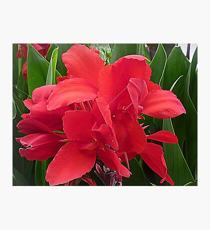 Red Canna - Lily Photographic Print