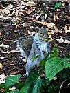 Gathering Nuts, Sciurus Carolinensis, Grey Squirrel by Margaret  Hyde