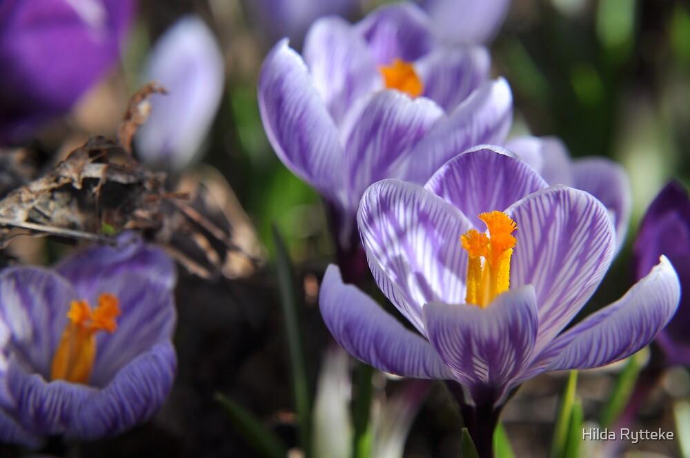 Purple Glory - Purple Crocuses by Hilda Rytteke