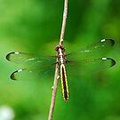 Spangled Skimmer by Steve Borichevsky