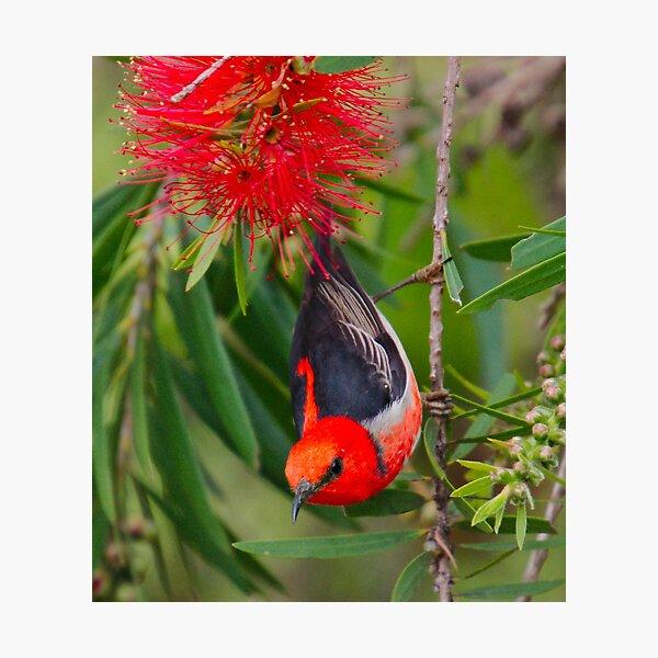 SC ~ WO ~ HONEYEATER ~ Scarlet Honeyeater by David Irwin 261019 Photographic Print