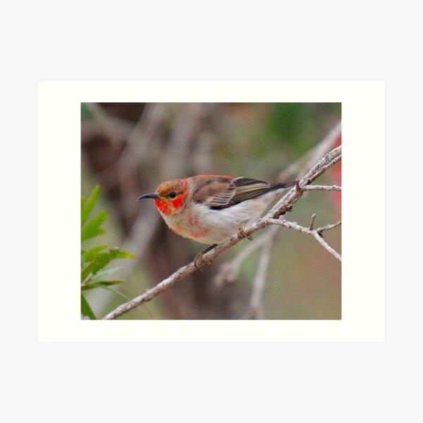 SC ~ WO ~ HONEYEATER ~ Scarlet Honeyeater 3PP6dH4w by David Irwin 261019 Art Print