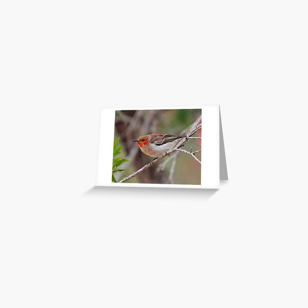 SC ~ WO ~ HONEYEATER ~ Scarlet Honeyeater by David Irwin 261019 Greeting Card
