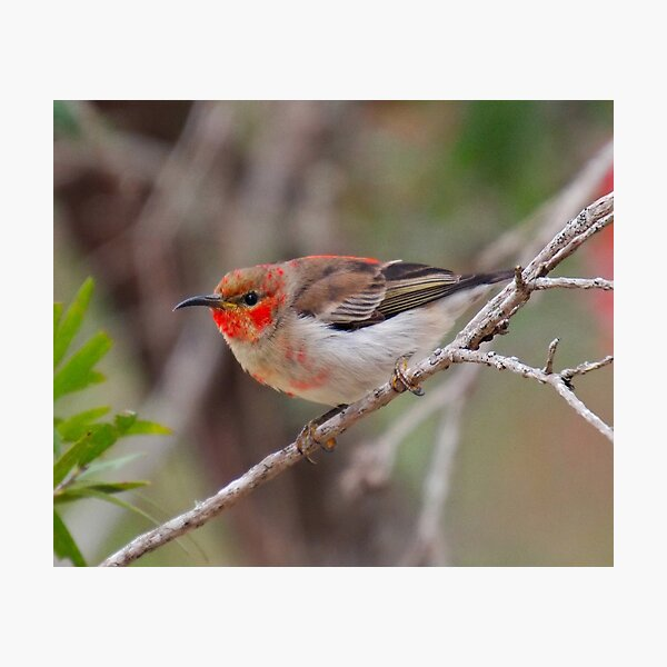 SC ~ WO ~ HONEYEATER ~ Scarlet Honeyeater 3PP6dH4w by David Irwin 261019 Photographic Print