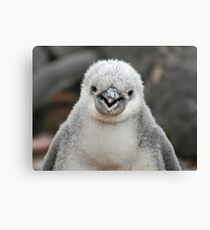 Chinstrap penguin chick Canvas Print