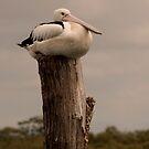 Pelican Rest by Jenny Dean