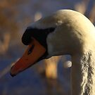 MUTE SWAN by Joe Powell