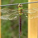 Dragon Fly by KBritt